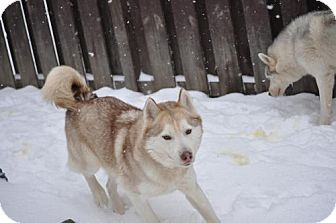 Siberian Husky Mix Dog for adoption in Shingleton, Michigan - Shilo and Cheyenne