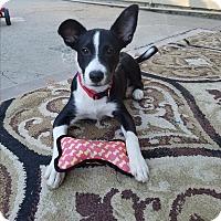 Adopt A Pet :: Boomer - Lodi, CA