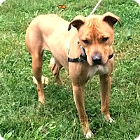 Labrador Retriever/Pit Bull Terrier Mix Dog for adoption in Baltimore, Maryland - Beau