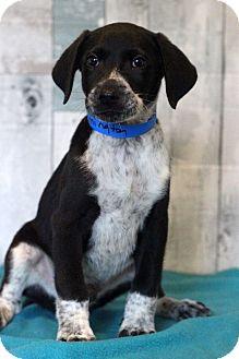 Labrador Retriever/Spaniel (Unknown Type) Mix Puppy for adoption in Waldorf, Maryland - Remington