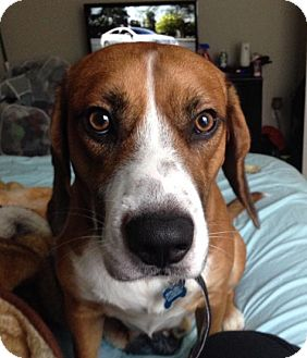Beagle Mix Dog for adoption in Baltimore, Maryland - Jinx (COURTESY POST)