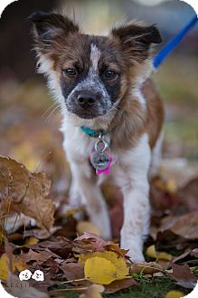 Chihuahua/Papillon Mix Puppy for adoption in Verona, New Jersey - Pistachio: Adoption Pending