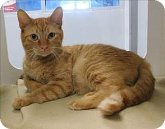 Domestic Shorthair Cat for adoption in Topeka, Kansas - Oafie