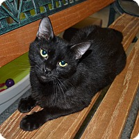 Domestic Shorthair Cat for adoption in Michigan City, Indiana - Harriet