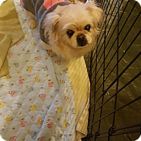 Pekingese Mix Dog for adoption in Sterling, Massachusetts - SANDI