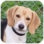 Photo 1 - Beagle Dog for adoption in Portland, Oregon - Porsche