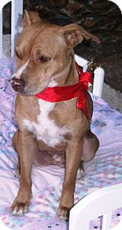 American Pit Bull Terrier Mix Dog for adoption in Gilbert, Arizona - Cutie