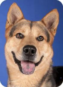Shepherd (Unknown Type)/Husky Mix Dog for adoption in Chicago, Illinois - Moose