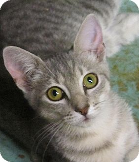 Domestic Shorthair Kitten for adoption in Seminole, Florida - Payten