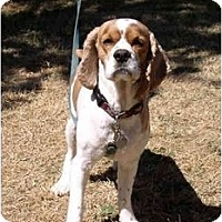 Adopt A Pet :: Asher - Tacoma, WA