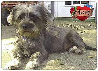 johnson city tx cairn terriershih tzu mix meet missy
