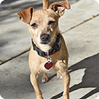 Chihuahua Mix Dog for adoption in Pt. Richmond, California - HARVEY