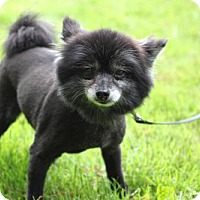 Pomeranian Dog for adoption in Andover, Connecticut - LEXI