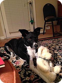 Border Collie/Labrador Retriever Mix Dog for adoption in Boulder, Colorado - Espresso - Courtesy Post