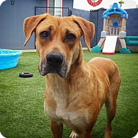 Labrador Retriever Mix Dog for adoption in Phoenix, Arizona - Rain