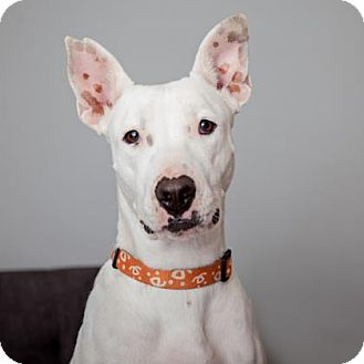 Dogo Argentino/Bull Terrier Mix Dog for adoption in Mission Hills, California - Ellie