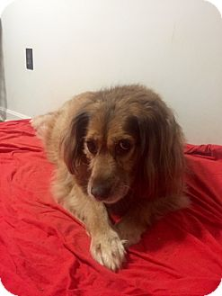 Spaniel (Unknown Type) Mix Dog for adoption in Bristol, Tennessee - Sienna