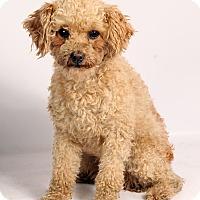 Adopt A Pet :: Izzy Poodle - St. Louis, MO