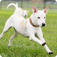 Adopt A Pet :: Sawyer - Santa Fe, TX