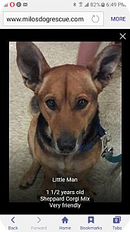 Corgi/Shepherd (Unknown Type) Mix Dog for adoption in Pompano Beach, Florida - Little man