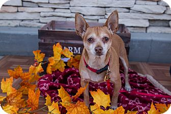 Basenji/Chihuahua Mix Dog for adoption in La Verne, California - Cash