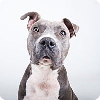 American Pit Bull Terrier Mix Dog for adoption in Decatur, Georgia - Nova
