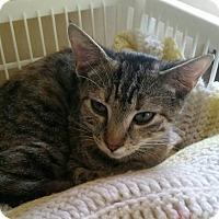 Domestic Shorthair Kitten for adoption in Virginia Beach, Virginia - Betty