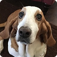 Adopt A Pet :: Miss Pearl - Grapevine, TX