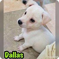 Adopt A Pet :: Dallas - Smithtown, NY