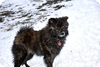 Pomeranian Dog for adoption in Middleton, Wisconsin - Anna