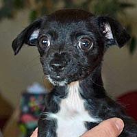 Adopt A Pet :: Ruby - Pacific Grove, CA