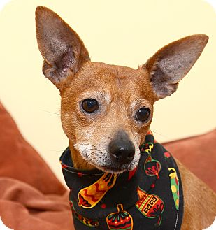 Miniature Pinscher/Terrier (Unknown Type, Small) Mix Dog for adoption in Bowie, Maryland - Chilli