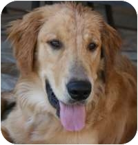Golden Retriever Mix Dog for adoption in Scottsdale, Arizona - Jake