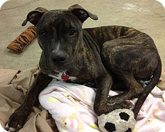American Staffordshire Terrier/Pointer Mix Dog for adoption in Monroe ...