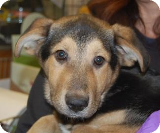 Shepherd (Unknown Type) Mix Puppy for adoption in Brooklyn, New York - Justin