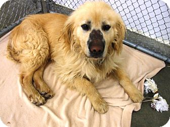 Golden Retriever Mix Dog for adoption in Kalamazoo, Michigan - Shaggy