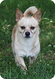 Welsh Corgi/Chihuahua Mix Dog for adoption in Brattleboro, Vermont - Blake