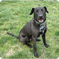 Adopt A Pet :: Solo *Foster* - Glen Allen, VA