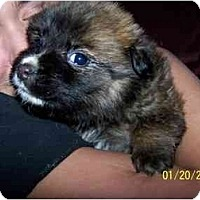Adopt A Pet :: Furby - Honaker, VA