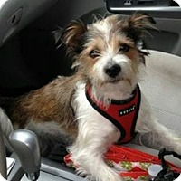 Adopt A Pet :: Scruffy - bridgeport, CT