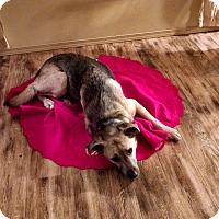 Adopt A Pet :: Gus - Hamilton, MT