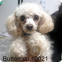 Adopt A Pet :: Buttercup - baltimore, MD