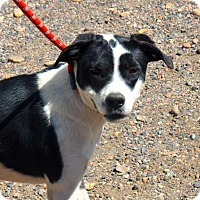 Adopt A Pet :: Savannah - Aurora, CO