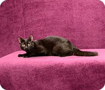 Domestic Shorthair Kitten for adoption in Cary, North Carolina - Will