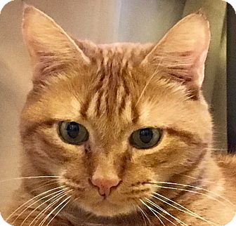 Domestic Shorthair Cat for adoption in Tucson, Arizona - Jasper - make that Jaspurrrrrr