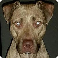 Adopt A Pet :: Riley!  Golden Brindle!! - St Petersburg, FL
