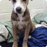 Adopt A Pet :: Rollie - Miami, FL