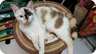 Calico Cat for adoption in Woodstock, Georgia - Sabrina