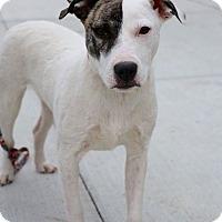 Adopt A Pet :: Vidia - Detroit, MI