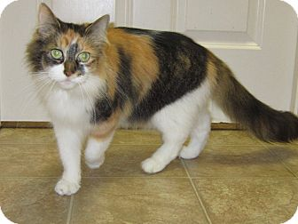 Calico Cat for adoption in Toledo, Ohio - Callie